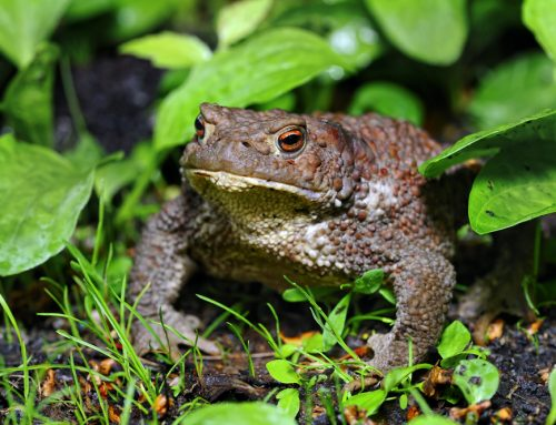 When Amphibians Turn Dangerous: Bufo Toad Toxicity in Dogs