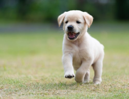 How Can I Keep My New Puppy Safe with Pet Insurance?