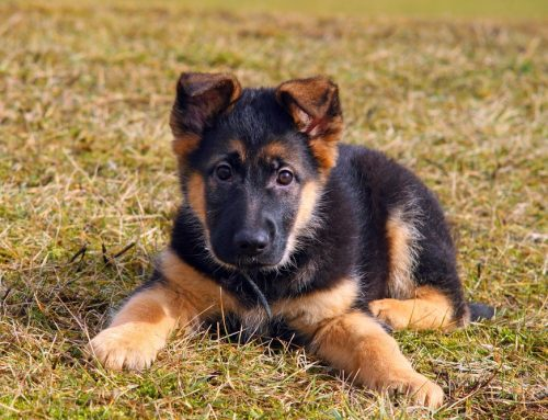 It's All in the Breed: Health Conditions in Puppy Breeds