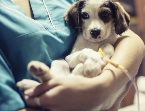 Parvovirus Infection in Puppies: A Deadly Threat